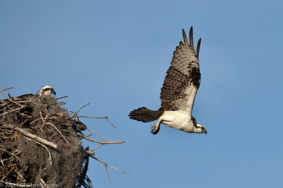 Male Osprey off for food