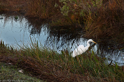 Great Egret, Anhinga Trail, Everglades