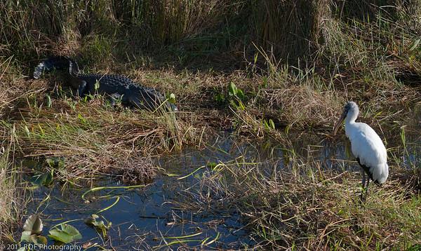 The Standoff - alligator and wood stork