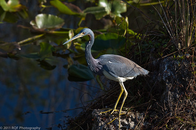 Tricolored heron, Everglades NP, FL