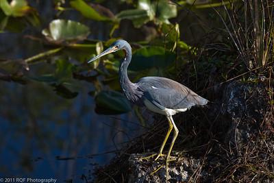 Tricolored heron, Everglades NP, FL