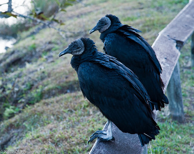 Frick and Frack - greeting the morning. Black Vultures, Anhinga Trail, Everglades National Park