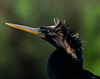 Anhinga Bird in Everglades National Park