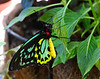 The Key West Butterfly and Nature Conservatory: green birdwing butterfly