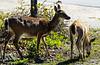 Key Deer at No Name Key