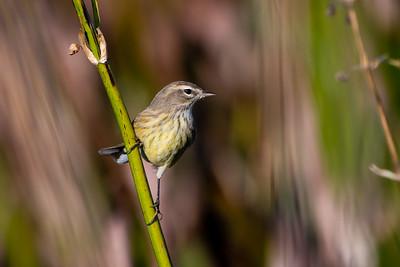 Palm Warbler, Green Cay Wetlands