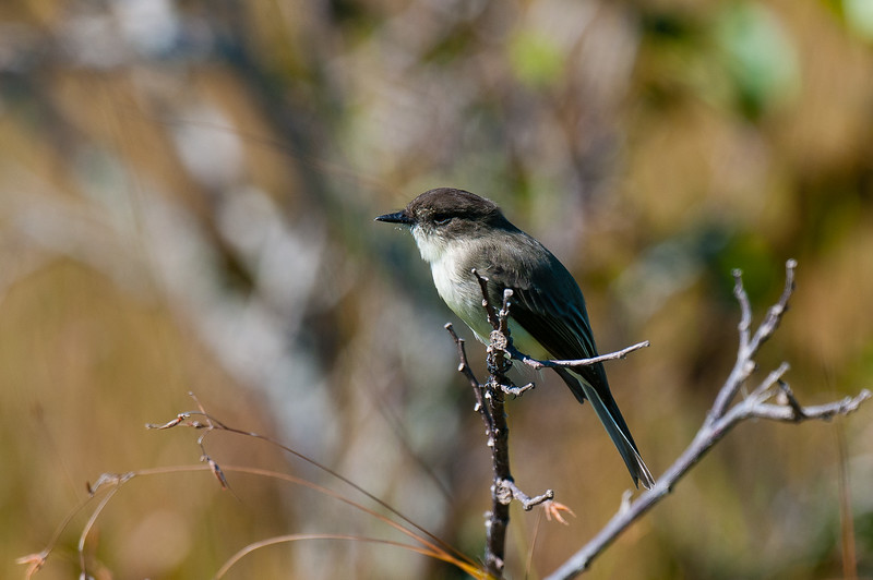 Eastern Phoebe, Shark Valley, Everglades