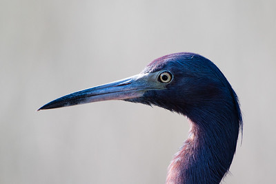 Little Blue Heron, Green Cay Wetlands
