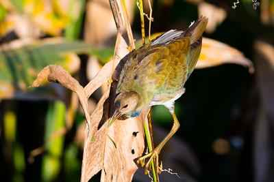 Purple Gallinule, Juvenile