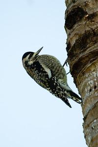 Ladderback Woodpecker, Female