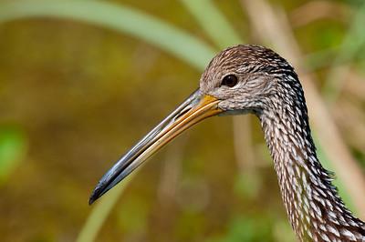 Limpkin, Everglades
