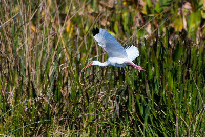 White Ibis with snake, Green Cay Wetlands