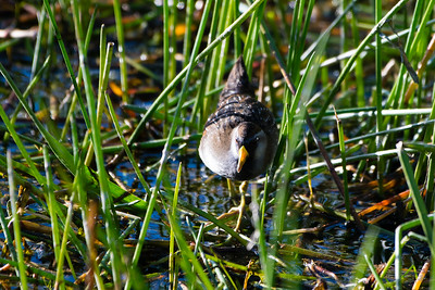 Sora, Green Cay Wetlands