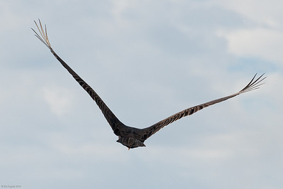 Even a turkey vulture has grace.  Loxahatchee NWR
