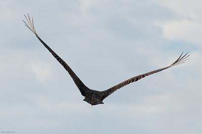Even a turkey vulture has grace.  Loxahatchee NWR