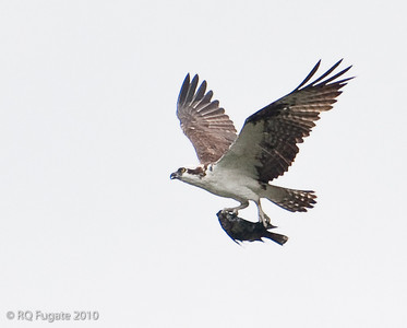 Osprey flies by at high altitude. Note how he carries the fish to minimize air drag.