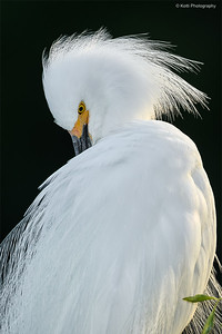 Snowy Egret - BackLight