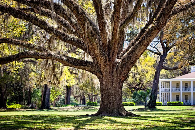 Oak tree with spanish moss. Eden Garden State Park, Pt. Washington, Florida.