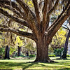 Oak tree with spanish moss. Eden Garden State Park, Pt. Washington, Florida.