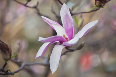 Magnolias 13 9217