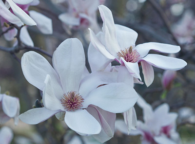Magnolias 13 9290