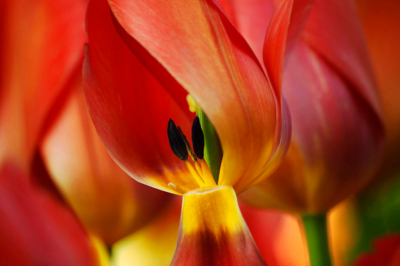 Flaming tulip