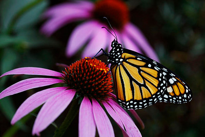Monarch with coneflower 2