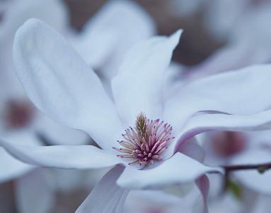 Magnolias 13 9304