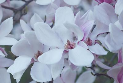 Magnolias 13 9284
