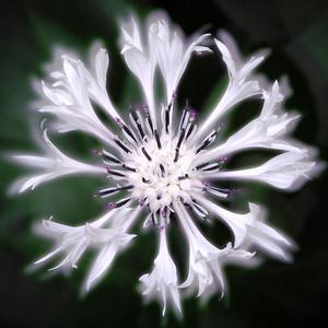 White Cornflower (Centaurea cyanus)