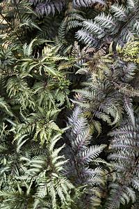 Japanese Painted Ferns (Athyrium niponicum var. 'Pictum')