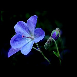 Blue Blossom and Bud