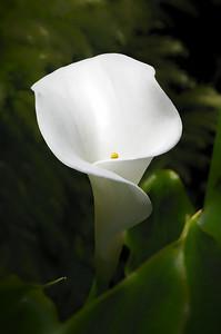 Calla Lily (Zantedeschia aethiopic)