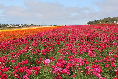 Flower Fields in Carlsbad, CA.