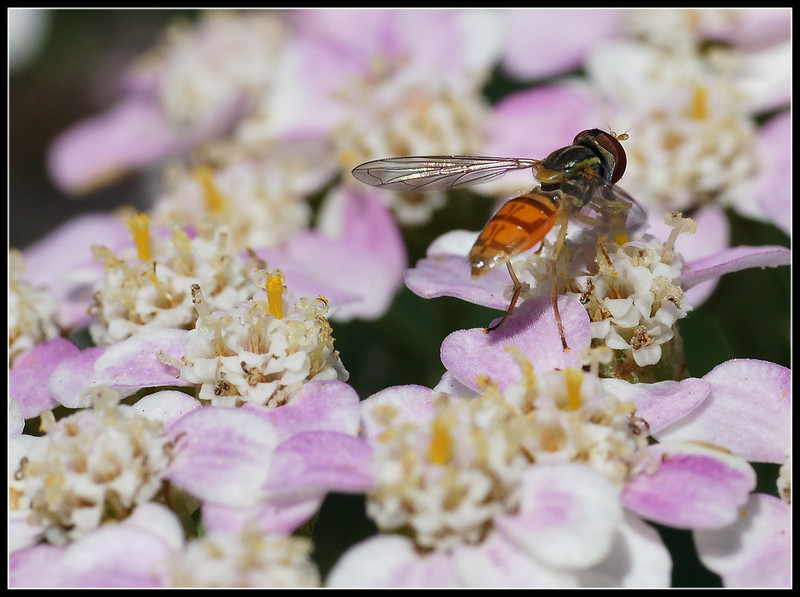 Another angle of the bee on pink yarrow.