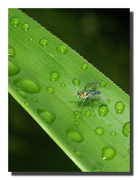 This is an unknown type of fly on a bamboo leave in our yard.