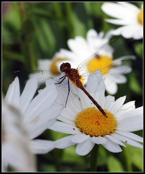 A beautiful golden yellow dragonfly resting on a daisy.