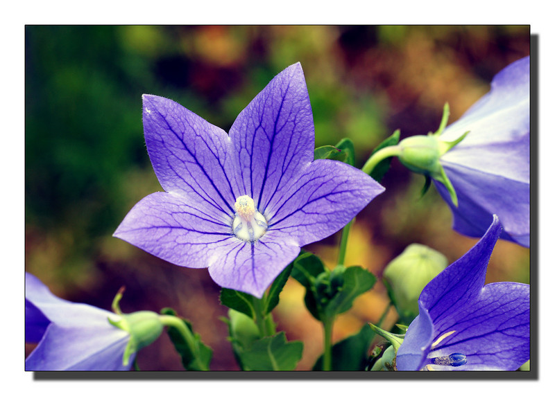 """Balloon Flower"""