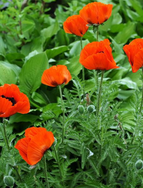 """Spring Poppies"""