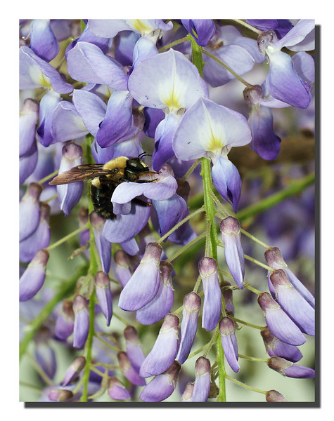 """""""Bumble Bee On Wisteria"""""""