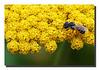 """""""Bee on Yarrow"""""""