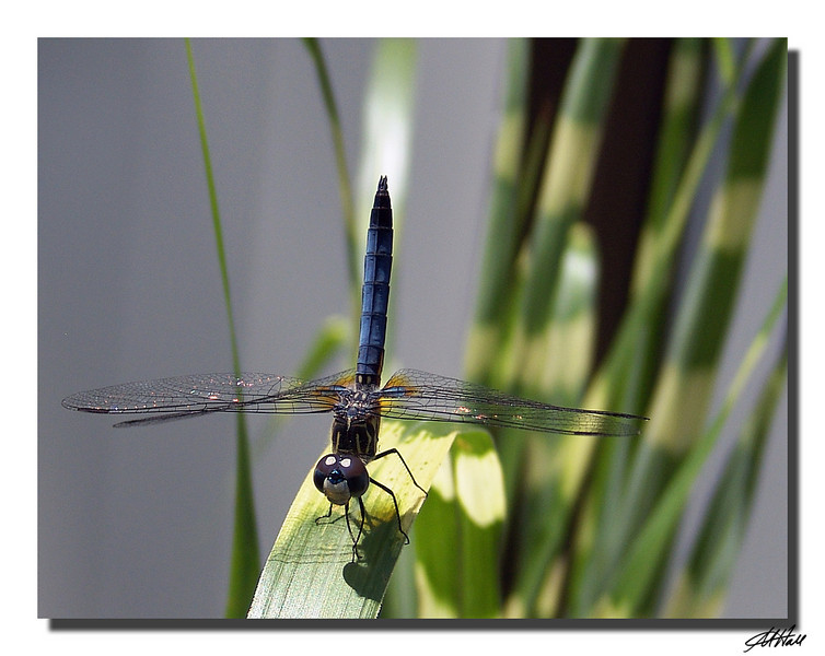 """""""The Dance Of The Dragonfly"""""""