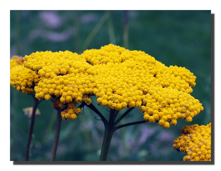 """Golden Yarrow"""
