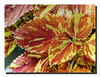 """Flaming Caladium"""