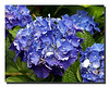 """Blue Hydrangea"""