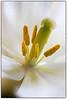 """""""Tulip Stamen"""""""