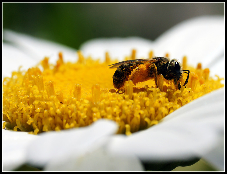 Another angle of the fully loaded bee on a daisy.