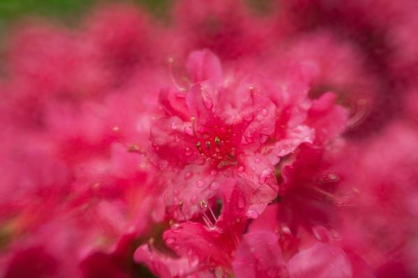 Azalea Blossum in May