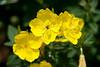 Yellow Sundrops