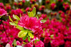 Spring Azaleas in bloom